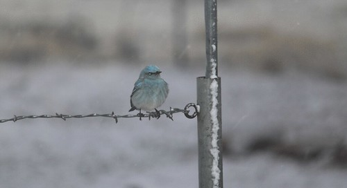 blue-bird-in-snow-(11)
