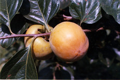 FPM1165 Caqui, variedade Kaoru (Fernando Picarelli Martins) Tags: frutas fruits persimmon kaoru caqui kaki iac loti diospyroskaki institutoagronmicodecampinas estaoexperimentaldejundia tipovarivel variedadebrasileira famliaebenaceae variedadekaoru luizdequeirozxhanagosho iac136