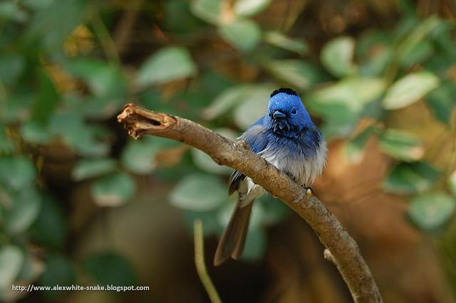 黑枕藍鶲 - 雄鳥