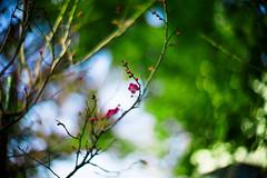 tiney happy (moaan) Tags: life leica digital 50mm dof blossom bokeh f10 utata noctilux february ume m9 latewinter waitingforspring japaneseapricot 2011 inlife leicanoctilux50mmf10 comeintoblossom leicam9 gettyimagesjapanq2