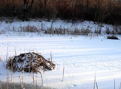 beaver sleep (dmixo6) Tags: winter canada ice pond bush lodge beaver february mississauga dugg dmixo6