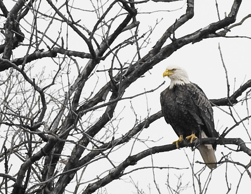 Bald Eagle perched at NASA Goddard Space Flight Center