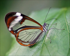 Greta Oto, the Glasswing Butterfly (Foto Martien (thanks for over 2.000.000 views)) Tags: holland color colour macro netherlands beautiful dutch butterfly insect costarica colorfull guatemala belize venezuela nederland honduras papillon tropical nicaragua caribbean elsalvador panama falter noordoostpolder mariposa coloured flevoland centralamerica schmetterling vlinder kleurrijk macrophoto butterflyhouse kleuren polychrome bont tropisch glasswing veelkleurig macrofoto vlindertuin kleurig clearwing clearwings macroopname gretaoto espejitos luttelgeest glasswings brushfootedbutterfly vlinderhuis orchideenhoeve vlindervallei a550 rustyclearwing southernmexico glasvleugelvlinder indoorbutterflygarden thicktippedgreta martienuiterweerd gretamorganeoto martienarnhem sonyalpha550 mygearandme mygearandmepremium minoltamacro100mm28mm mygearandmebronze mygearandmesilver mygearandmegold fotomartien glasflglerfalter transparantwings doorzichtigevleugels trasparantevleugels overdektevlindertuin