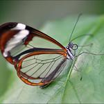 Greta Oto, the Glasswing Butterfly