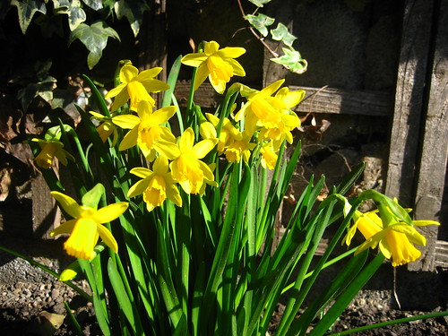 Daffs in the garden