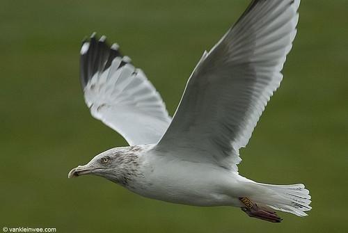 European Herring Gull, 5cy, Y[H.277]