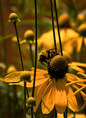 Bee on Cone Flower (mhcityplanner) Tags: flowers usa flickr coneflowers bees stlouis insects competition places missouri posted missouribotanicalgardens facebook awarded naturelandscape betterphotocom betterphotoeditorspick eyefetchcom