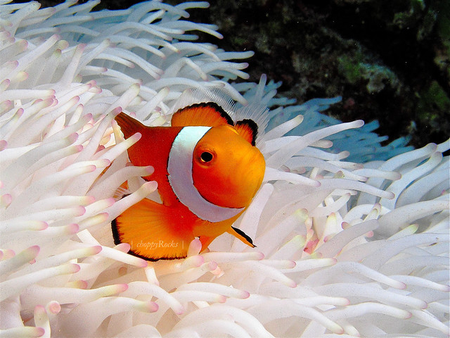 Clownfish in white anemone