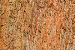 110224_365_Metasequoia glyptostroboides.jpg (Alan Buckingham) Tags: winter tree bark trunk rhswisley euonymusalatus dawnredwood metasequoiaglyptostroboides