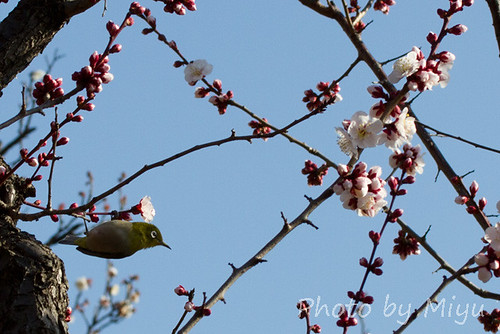 White-eye with pink plum-blossom