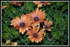 Arctotis Sun Spot Orange (Jeffrey Pabroquez) Tags: garden picnik fantasticflower saveearth nikkor105mmf28gvrmicro flowersarebeautiful persephones