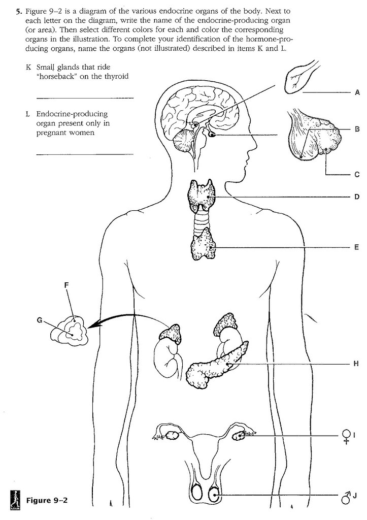 Unit 6 Endocrine System Diagram