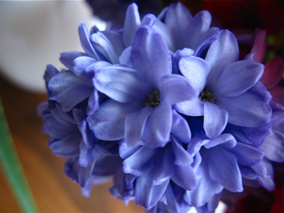 lavender hyacinth 005