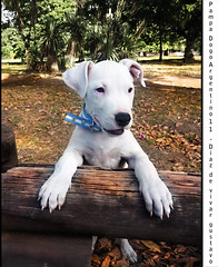Pampa Dogo Argentino 11  - Diaz de vivar gustavo (Diaz De Vivar Gustavo) Tags: dog love animal del puppy that de amigo la is friend 11 el lick bulldog que perro gustavo cachorro es wound companion amo footprint pampa lamer noble diaz capaz dogo fiel faithful argentino able the huella compaero herida vivar