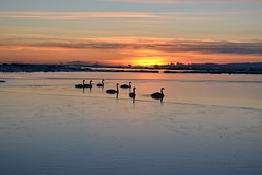 Swimming in the sunset (Ester Sveinbjarnardottir) Tags: winter sunset sea orange sun lake ice silhouette vertical swimming outdoors photography iceland swan nopeople tranquilscene groupofanimals colorimage animalfamily animalthemes estersv gettyimagesicelandq1