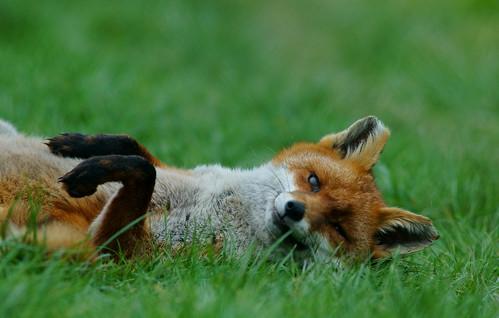 フリー写真素材, 動物, 哺乳類, イヌ科, 狐・キツネ,