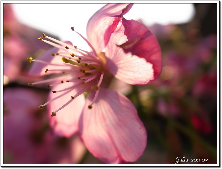 櫻花 (19)