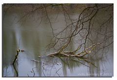 FALLEN (vicki127.) Tags: longexposure tree water cheshire canon300d branches soe lymm digitalcameraclub lymmdam youmademyday flickraward thisphotorocks ilovemypics march2011 mygearandme adobephotoshopcs5 ringofexcellence vickiburrows vicki127
