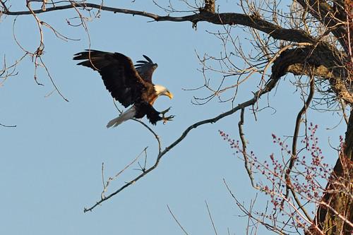 Bald Eagle Landing DSC_5903