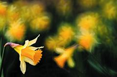 Daffodil (c.richard) Tags: flower woodland spring path somerset daffodil narcissus woodlandpath wilddaffodil edfordwood