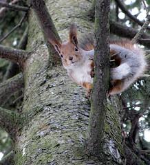 Red squirrel, male (zxc6789) Tags: winter canon powershot talvi vulgaris sx200 sciurus kuusi sx200is punaorava