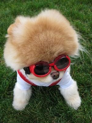boo_Pomeranian_Dog_25