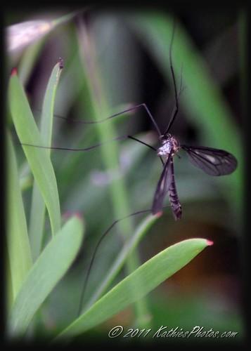 84-365 Crane Fly