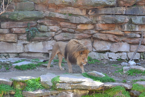 Fort Worth Zoo, Homeschool Day at Zoo, Lion