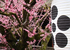 Kitano Tenman-g Plum Blossoms (Rekishi no Tabi) Tags: japan kyoto shinto earlyspring plumblossoms shintoshrines kitanotenmang kitanotenmangshrine sugarawamichizane