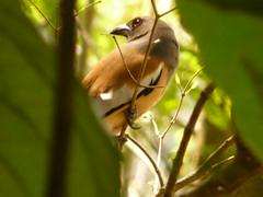 P1160267 - Copie (babsybou) Tags: travel india birds silent watching kerala du valley yatra sud inde attapadi birdswatching babsybou malleeshwaramjunglelodge pettickal