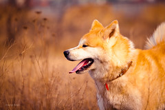 Fire attraction (Emyan) Tags: wild dog nature animals canon spring husky maya walk siberian akita hachiko inu frass siberianmiraclebirdofparadise