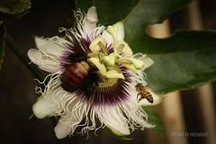 Flor de maracuj  + abelha e mamangava. (Dircinha -) Tags: brazil flower brasil canon de do para flor  preciso bee bumblebee abelha e da trabalho maracuj mamangava polinizar dircinha