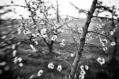 Spring dizziness - BW (davcare) Tags: sunset tree primavera sol del lensbaby soleil spring nikon tramonto coucher peach du muse puesta pesco d90