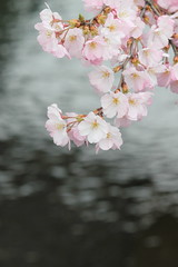 Cherry blossoms over a river / 川の上の桜