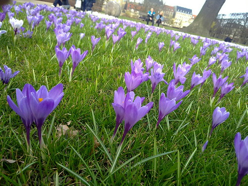 Violas picture of the crocus