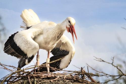 フリー写真素材, 動物, 鳥類, コウノトリ科, シュバシコウ,