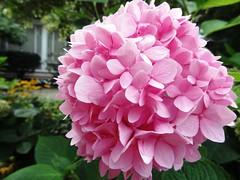 fluffy (Lovely Pom) Tags: flower pink plant pretty fluffy ball