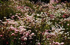 Swathes of everlastings (Lesley A Butler) Tags: australia kingspark wa wildflowers perth