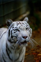 DSC03369 (hofferp) Tags: animallove animalphotos animals zoobudapest zoolife hungary sostozoo sonya300 sonydslr sonycam tiger whitelion littlepanda katta lion zebra orangutan
