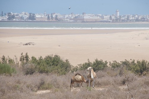 Photo of camels on the beach in Essaouira