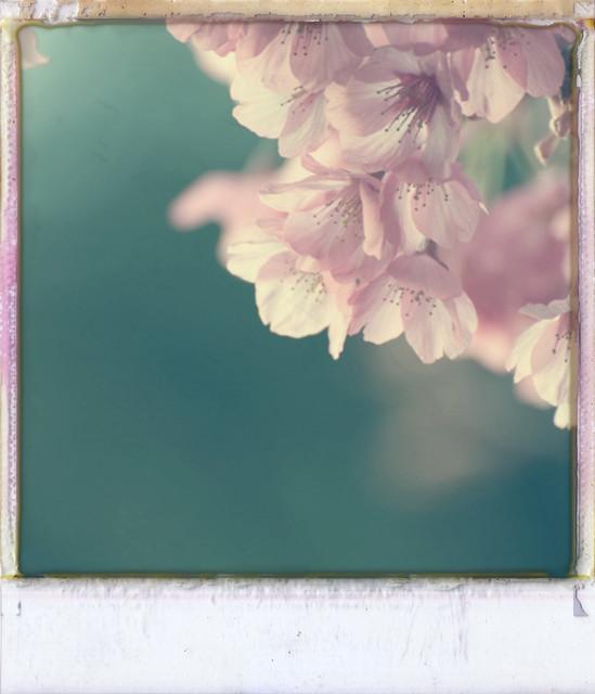 Sakura-saku