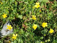 Ranunculus acris ssp. pumilus FJELLENGSOLEIE (per.aasen) Tags: ranunculus ranunculaceae ranunculusacrisssppumilus fjellengsoleie kmn69216
