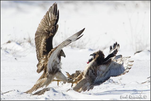 fight hawk redtailedhawk earlreinink wwwearlreininkcom wwwipaintca