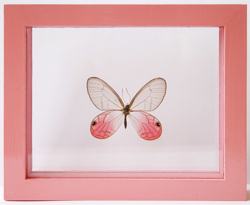 Transparent Pink Glasswing Butterfly, Cithaerias pireta (Blushing ...