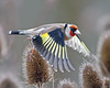 I'm out of here (Andrew Haynes Wildlife Images) Tags: bird nature wildlife goldfinch coventry warwickshire brandonmarsh canon7d ajh2008