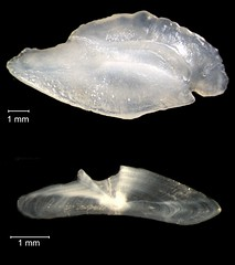 Rock Sea Bass Otolith (FWC Research) Tags: fish florida research otolith