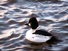 Tossed Duck! Common Goldeneye (Bucephala clangula) (FernShade) Tags: canada nature birds vancouver duck britishcolumbia stanleypark migratory waterfowl lostlagoon commongoldeneye bucephalaclangula