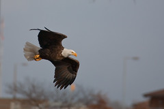 Lock & Dam 14 (vzonabaxter) Tags: winter cold bird canon eagle baldeagle iowa mississippiriver majestic leclaire vzonabaxter
