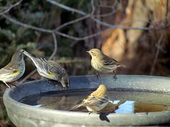 Bird Bath  Backyard Birds Cary NC0762 (bobistraveling) Tags: birds backyard 2011
