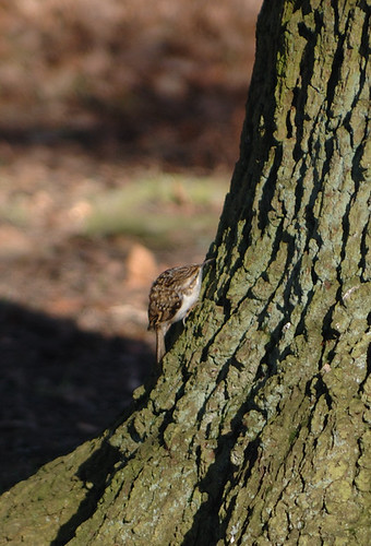 tree creeper.